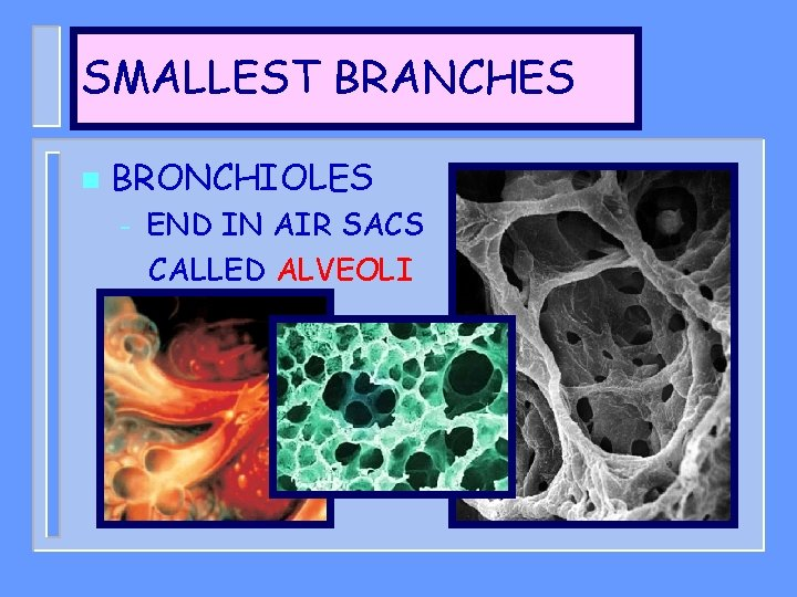 SMALLEST BRANCHES n BRONCHIOLES – END IN AIR SACS CALLED ALVEOLI