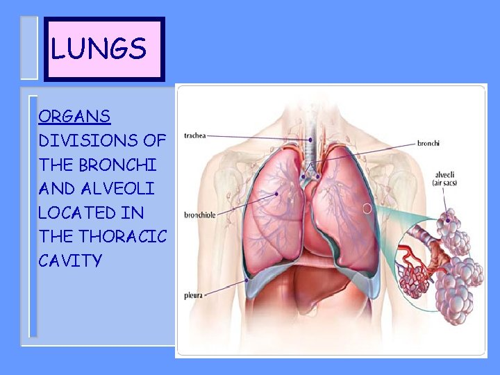 LUNGS ORGANS DIVISIONS OF THE BRONCHI AND ALVEOLI LOCATED IN THE THORACIC CAVITY