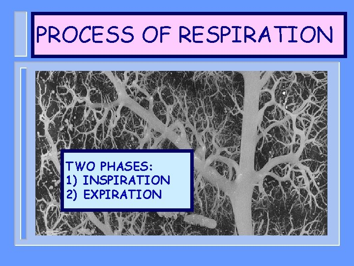 PROCESS OF RESPIRATION TWO PHASES: 1) INSPIRATION 2) EXPIRATION