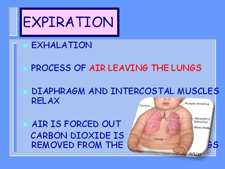 EXPIRATION n EXHALATION n PROCESS OF AIR LEAVING THE LUNGS n n DIAPHRAGM AND