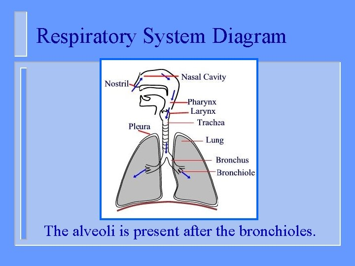 Respiratory System Diagram The alveoli is present after the bronchioles.