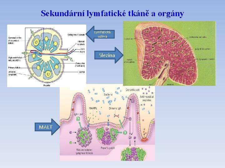 Sekundární lymfatické tkáně a orgány Lymfatická uzlina Slezina MALT