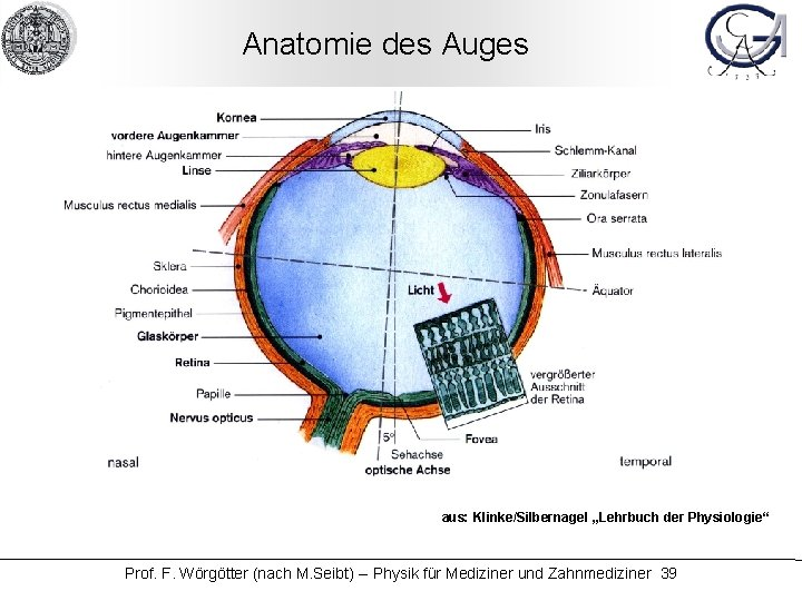 """Anatomie des Auges aus: Klinke/Silbernagel """"Lehrbuch der Physiologie"""" Prof. F. Wörgötter (nach M. Seibt)"""