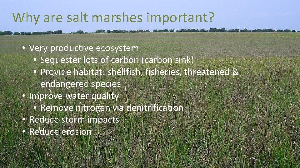 Why are salt marshes important? • Very productive ecosystem • Sequester lots of carbon