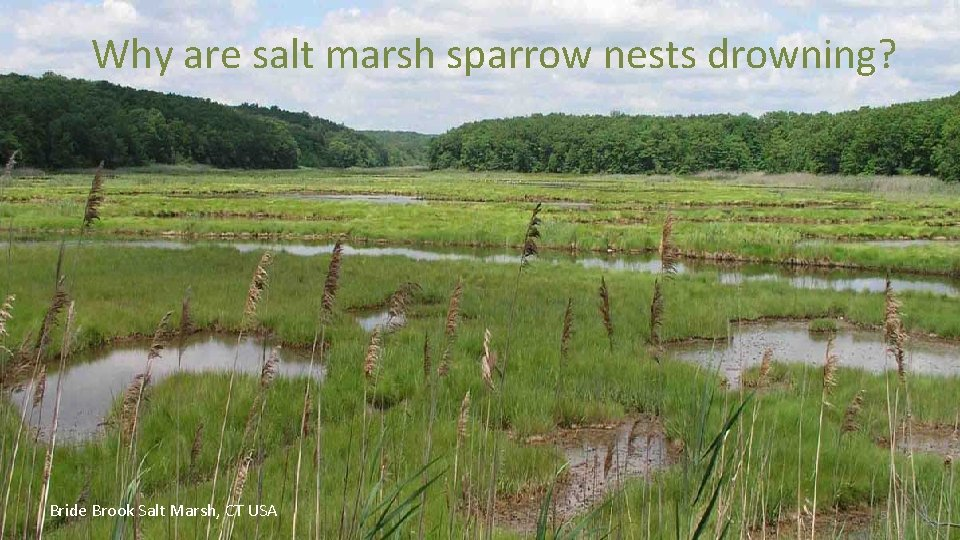 Why are salt marsh sparrow nests drowning? Bride Brook Salt Marsh, CT USA 5