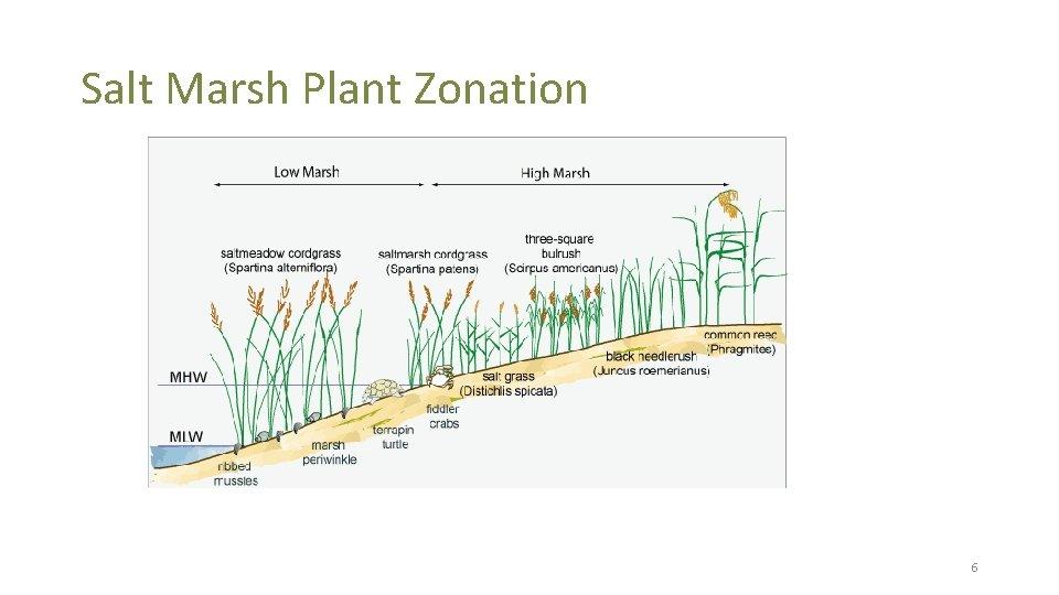 Salt Marsh Plant Zonation 6