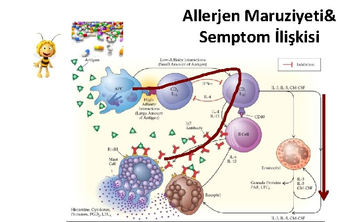 Allerjen Maruziyeti& Semptom İlişkisi