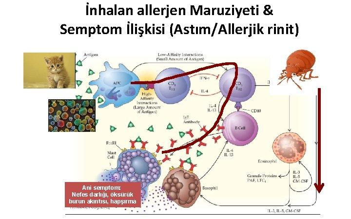 İnhalan allerjen Maruziyeti & Semptom İlişkisi (Astım/Allerjik rinit) Ani semptom: Nefes darlığı, öksürük burun