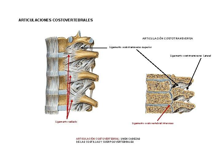 ARTICULACIONES COSTOVERTEBRALES ARTICULACIÓN COSTOTRANSVERSA Ligamento costotransverso superior Ligamento costotransverso Lateral Ligamento radiado Ligamento costovertebral