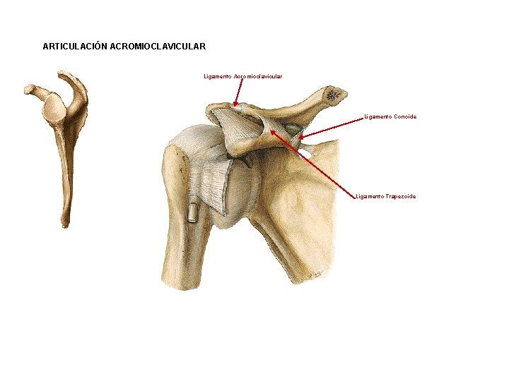 ARTICULACIÓN ACROMIOCLAVICULAR Ligamento Acromioclavicular Ligamento Conoide Ligamento Trapezoide
