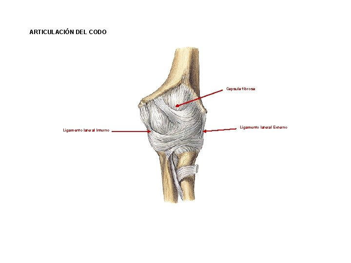 ARTICULACIÓN DEL CODO Capsula fibrosa Ligamento lateral Interno Ligamento lateral Externo