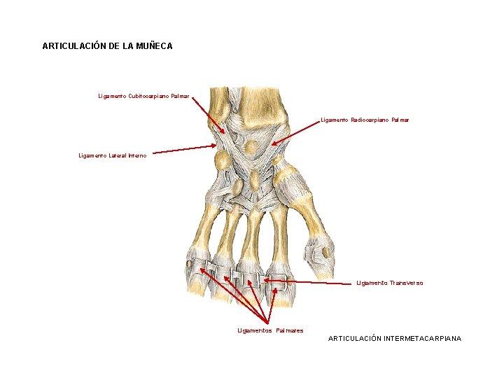 ARTICULACIÓN DE LA MUÑECA Ligamento Cubitocarpiano Palmar Ligamento Radiocarpiano Palmar Ligamento Lateral Interno Ligamento