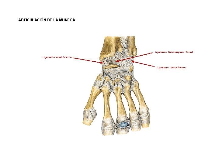ARTICULACIÓN DE LA MUÑECA Ligamento Radiocarpiano Dorsal Ligamento lateal Externo Ligamento Lateral Interno