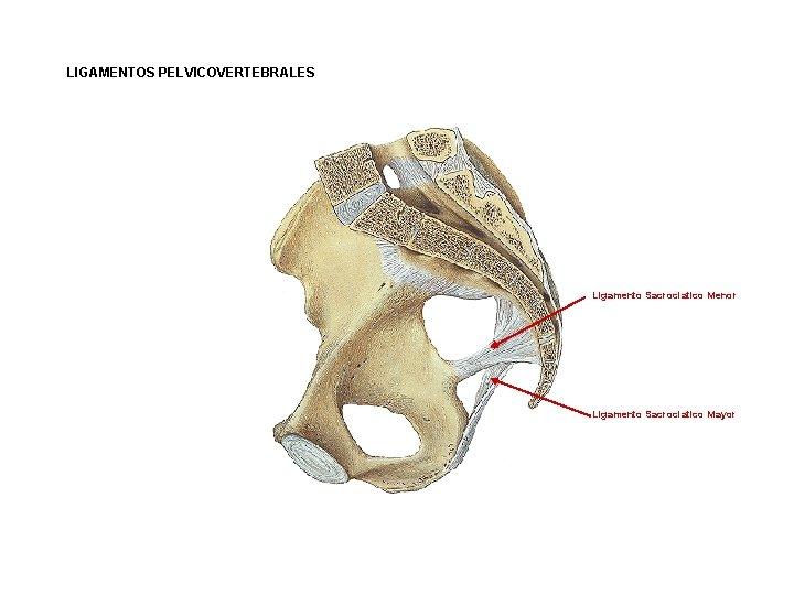 LIGAMENTOS PELVICOVERTEBRALES Ligamento Sacrociatico Menor Ligamento Sacrociatico Mayor