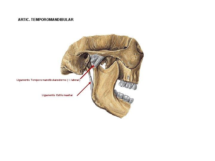ARTIC. TEMPOROMANDIBULAR Ligamento Temporomandibularexterno ( l. lateral) Ligamento Estilomaxilar