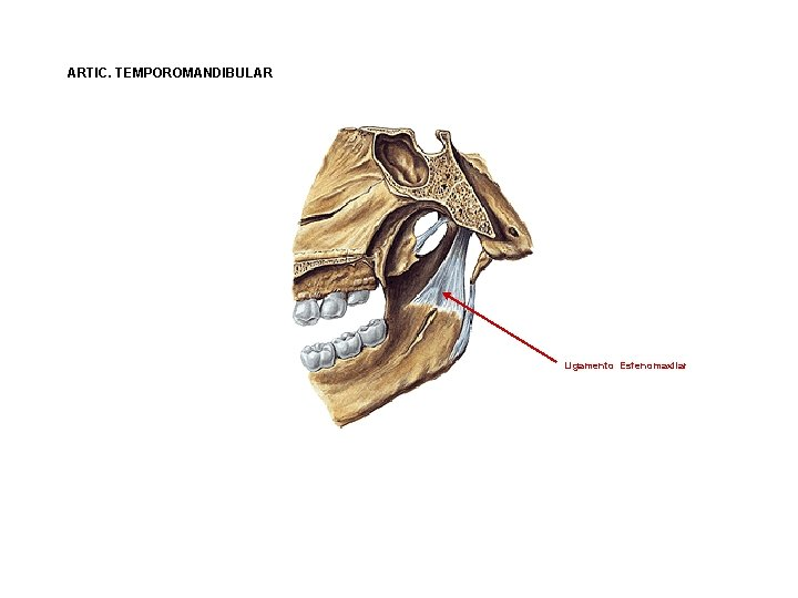 ARTIC. TEMPOROMANDIBULAR Ligamento Esfenomaxilar