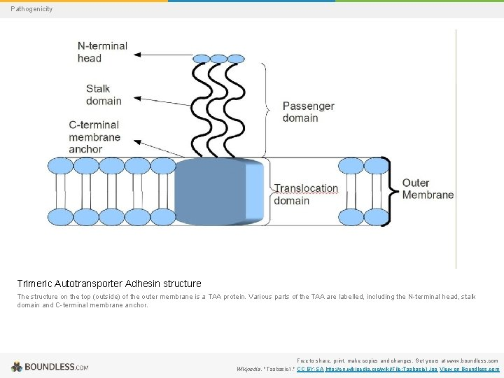 Pathogenicity Trimeric Autotransporter Adhesin structure The structure on the top (outside) of the outer