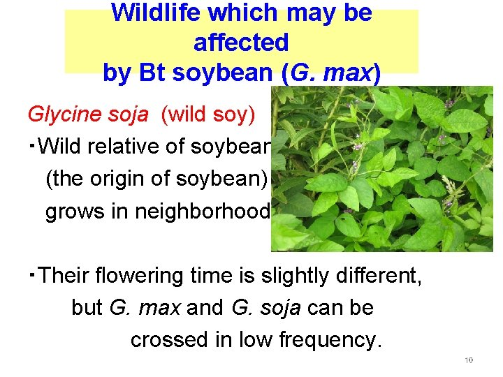 Wildlife which may be affected by Bt soybean (G. max) Glycine soja (wild soy)
