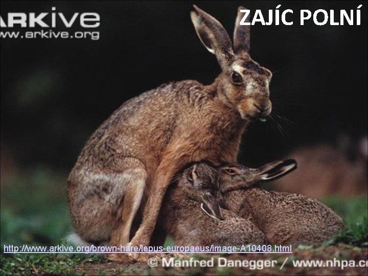 ZAJÍC POLNÍ http: //www. arkive. org/brown-hare/lepus-europaeus/image-A 10408. html