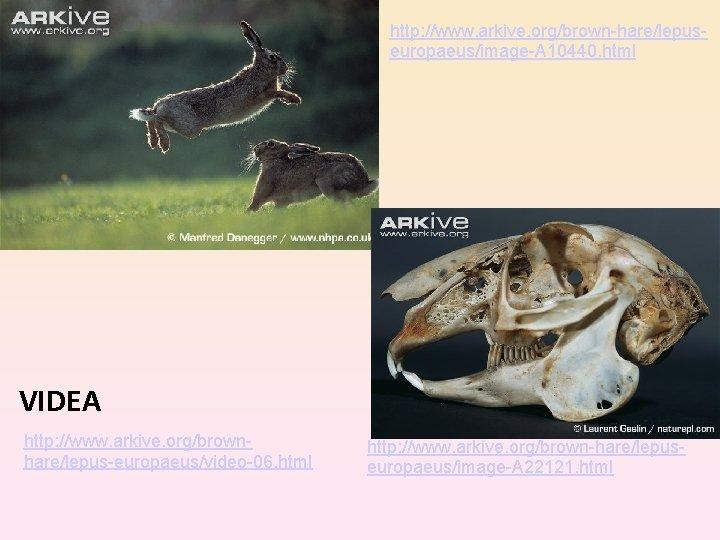 http: //www. arkive. org/brown-hare/lepuseuropaeus/image-A 10440. html VIDEA http: //www. arkive. org/brownhare/lepus-europaeus/video-06. html http: //www.