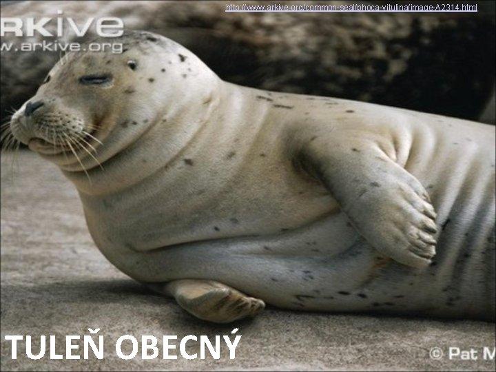 http: //www. arkive. org/common-seal/phoca-vitulina/image-A 2314. html TULEŇ OBECNÝ