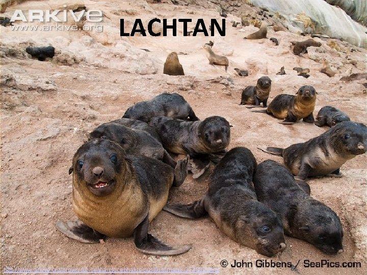 LACHTAN http: //www. arkive. org/brown-fur-seal/arctocephalus-pusillus/image-G 74889. html