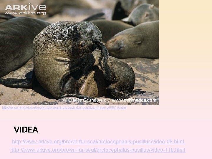 http: //www. arkive. org/brown-fur-seal/arctocephalus-pusillus/image-G 69019. html VIDEA http: //www. arkive. org/brown-fur-seal/arctocephalus-pusillus/video-06. html http: //www.