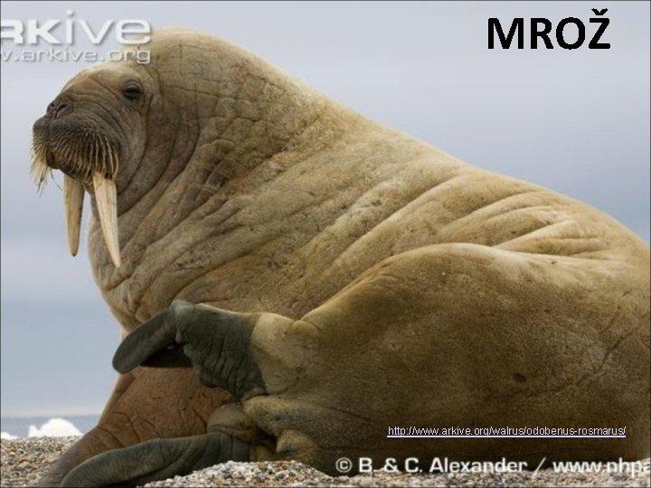 MROŽ http: //www. arkive. org/walrus/odobenus-rosmarus/