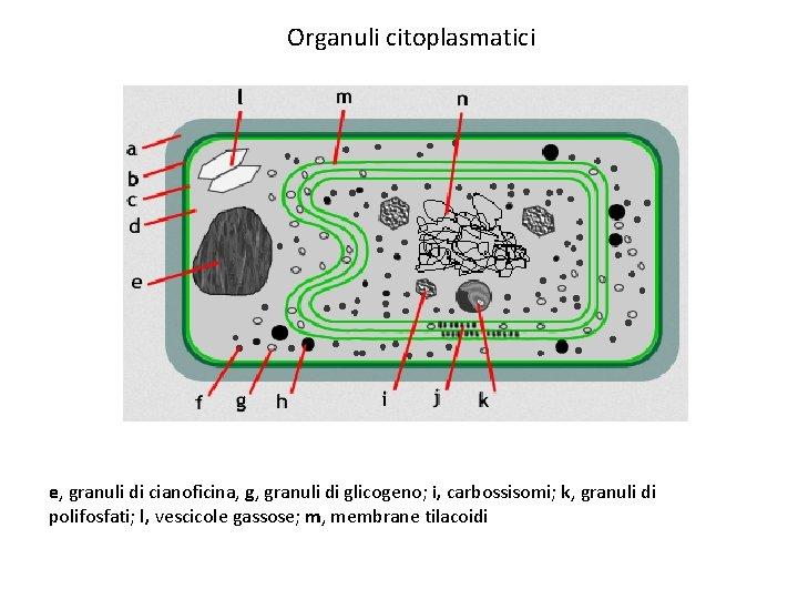 Organuli citoplasmatici e, granuli di cianoficina, g, granuli di glicogeno; i, carbossisomi; k, granuli