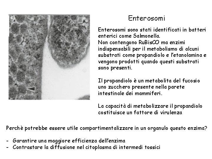 Enterosomi sono stati identificati in batteri enterici come Salmonella. Non contengono Ru. Bis. CO