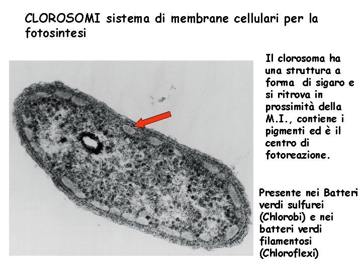 CLOROSOMI sistema di membrane cellulari per la fotosintesi Il clorosoma ha una struttura a