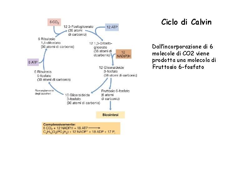 Ciclo di Calvin Dall'incorporazione di 6 molecole di CO 2 viene prodotta una molecola