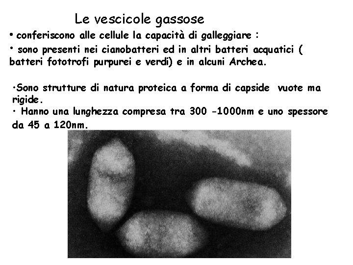 Le vescicole gassose • conferiscono alle cellule la capacità di galleggiare : • sono