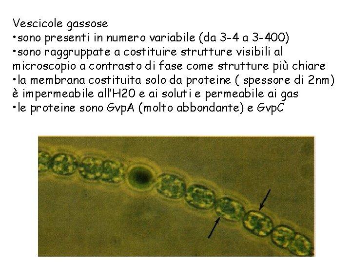 Vescicole gassose • sono presenti in numero variabile (da 3 -400) • sono raggruppate