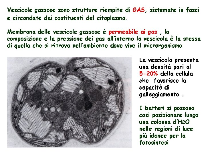 Vescicole gassose sono strutture riempite di GAS, sistemate in fasci e circondate dai costituenti