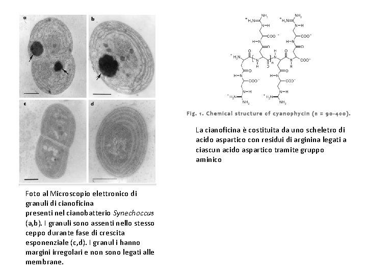 La cianoficina è costituita da uno scheletro di acido aspartico con residui di arginina