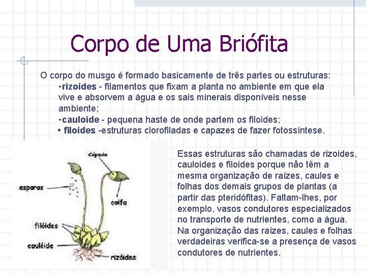 Corpo de Uma Briófita O corpo do musgo é formado basicamente de três partes