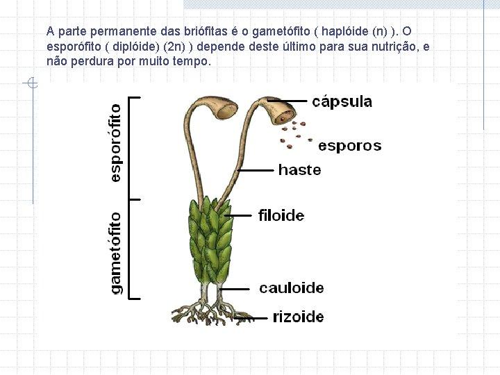 A parte permanente das briófitas é o gametófito ( haplóide (n) ). O esporófito