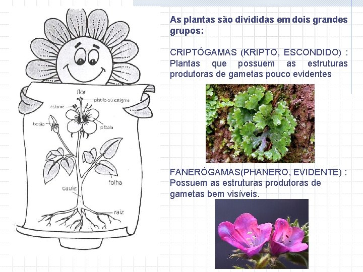 As plantas são divididas em dois grandes grupos: CRIPTÓGAMAS (KRIPTO, ESCONDIDO) : Plantas que