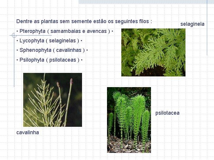 Dentre as plantas semente estão os seguintes filos : selaginela • Pterophyta ( samambaias