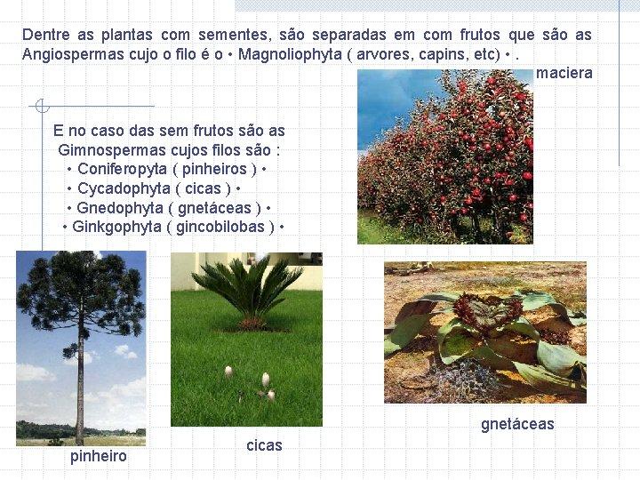 Dentre as plantas com sementes, são separadas em com frutos que são as Angiospermas