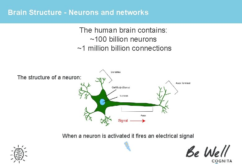 Brain Structure - Neurons and networks The human brain contains: ~100 billion neurons ~1