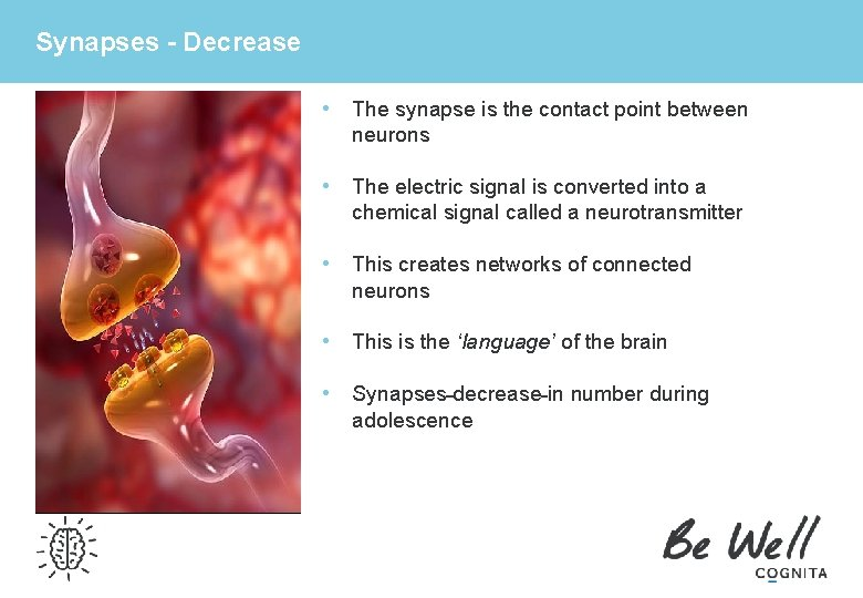 Synapses - Decrease • The synapse is the contact point between neurons • The