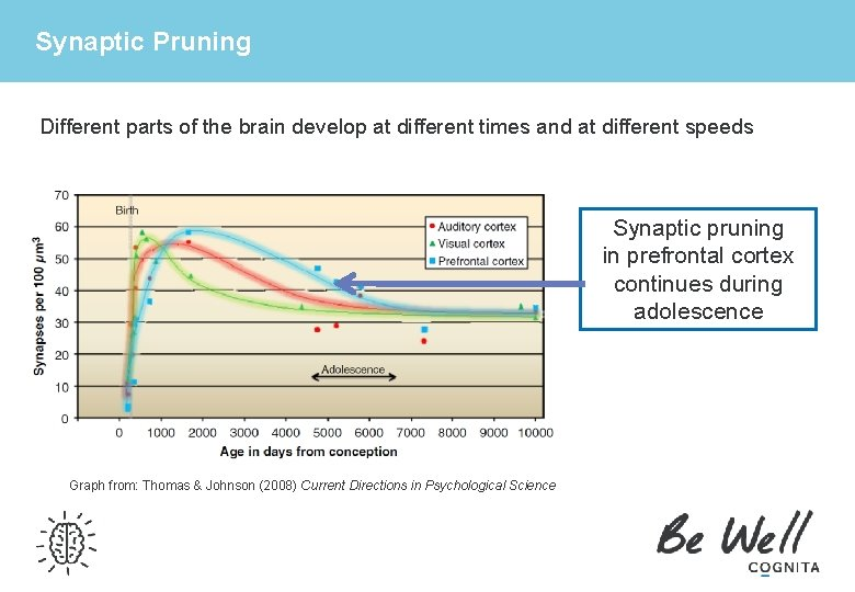 Synaptic Pruning Different parts of the brain develop at different times and at different