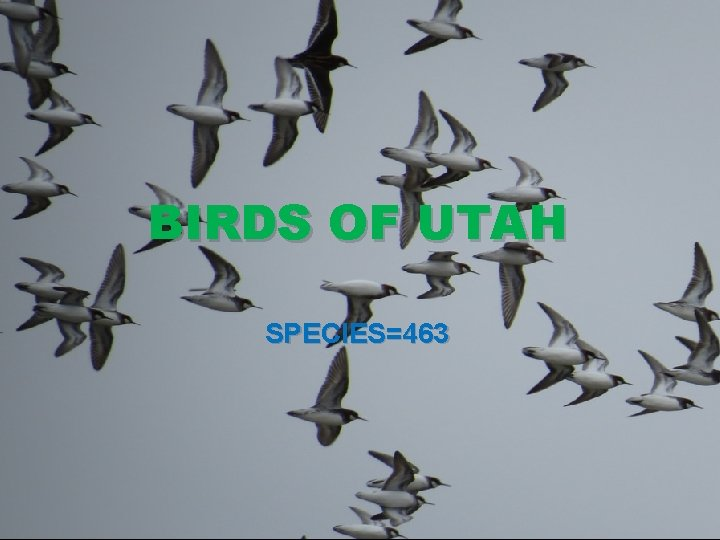 BIRDS OF UTAH SPECIES=463