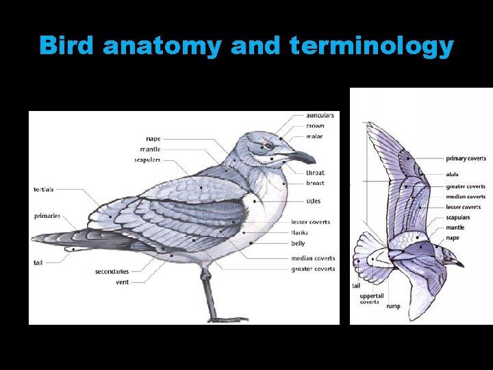 Bird anatomy and terminology