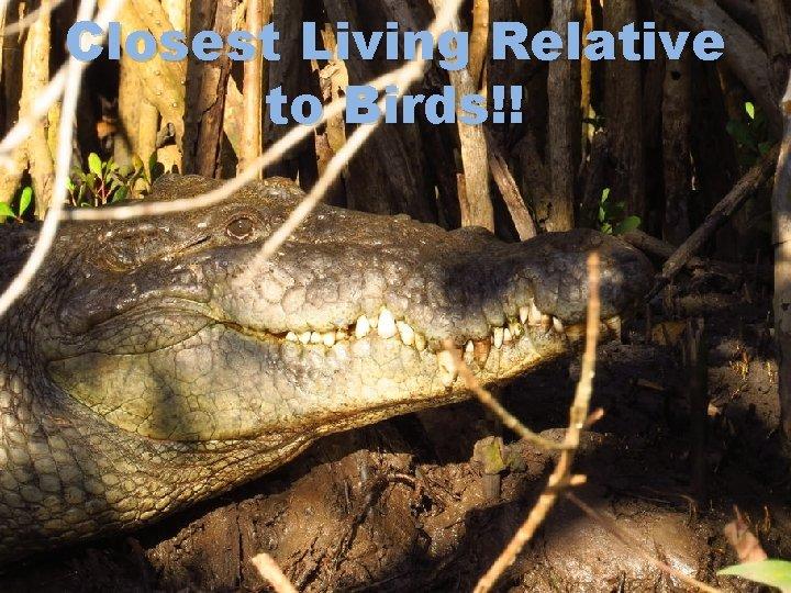 Closest Living Relative to Birds!!