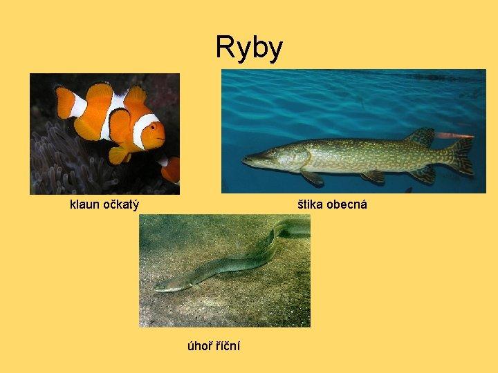 Ryby klaun očkatý štika obecná úhoř říční