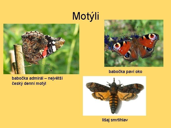 Motýli babočka paví oko babočka admirál – největší český denní motýl lišaj smrtihlav