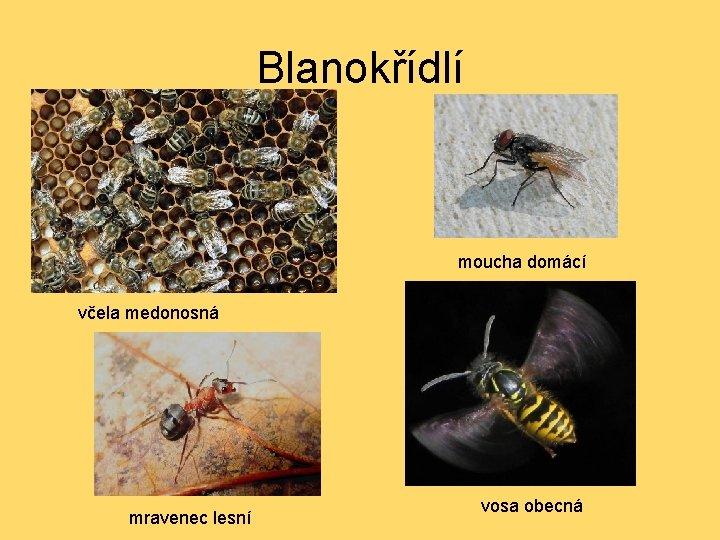Blanokřídlí moucha domácí včela medonosná mravenec lesní vosa obecná